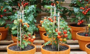 cara menanam tomat di pekarangan rumah